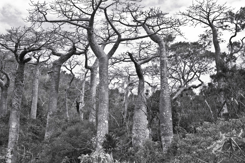 Bosque de Baobabs, árbol endémico de Madagascar.